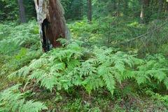 Eagle Ferns e vecchio ceppo di albero attillato nella foresta di estate fotografia stock