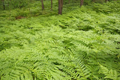 Eagle ferns foliage. Eagle ferns (Pteridium aquilinum) foliage in a forest. Poland, Holy Cross Mountains stock photo