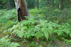 Eagle Ferns and old spruce tree stump in summertime forest Stock Photography