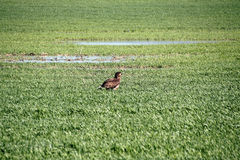 Eagle in the Field Royalty Free Stock Photography