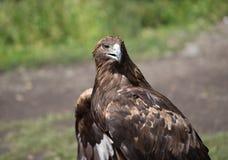 Eagle Filia Royalty Free Stock Photos