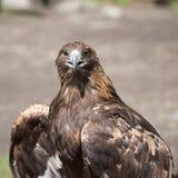 Eagle Filia Royalty Free Stock Photo