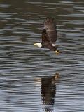 Eagle fing gerade einen Fisch. Stockfoto