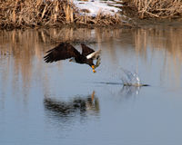 Eagle with fish. Bald eagle with fish it just caught from river Stock Photography