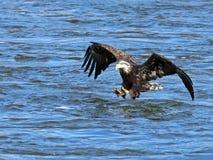 Eagle Fish Grab calvo fotografía de archivo libre de regalías
