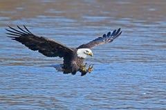 Eagle Fish Grab calvo fotos de archivo libres de regalías