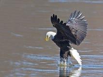 Eagle Fish Grab calvo imagen de archivo