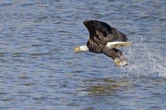 Eagle Fish Grab calvo imagenes de archivo
