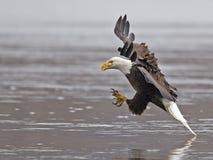 Eagle Fish Grab calvo foto de archivo libre de regalías