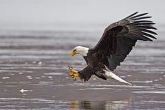 Eagle Fish Grab chauve photographie stock