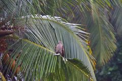 Eagle with fish. A red-backed sea eagle, after securing its prey in its talons, came to rest on the palm frond near a beach in Kovalam. The way it looked around Royalty Free Stock Photography