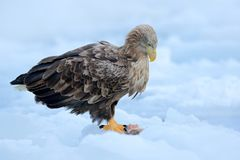 Eagle with fish in talons. White-tailed eagle, Haliaeetus albicilla, Hokkaido, Japan. Action wildlife scene on ice. Bird in natur. E stock images