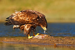 Eagle with fish. White-tailed Eagle, Haliaeetus albicilla, feeding kill fish in the water, with brown grass in background, Norway. Stock Photo
