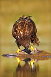 Eagle with fish. White-tailed Eagle, Haliaeetus albicilla, feeding kill fish in the water, with brown grass in background, Norway. Stock Image