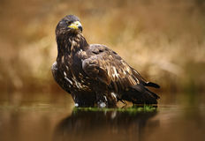 Eagle with fish. White-tailed Eagle, Haliaeetus albicilla, feeding kill fish in the water, with brown grass in background, Poland. Stock Images