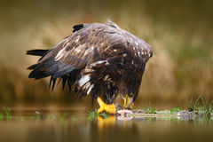 Eagle with fish. White-tailed Eagle, Haliaeetus albicilla, feeding kill fish in the water, with brown grass in background, Poland. Stock Image