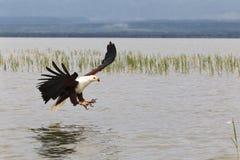 Eagle fisher Jeziorny Baringo Kenja Zdjęcia Royalty Free
