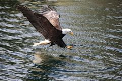 Eagle Fishing Royalty Free Stock Photos