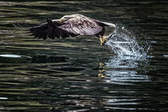 Eagle Fishing Stock Foto's