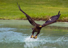 Eagle fishing. Eagle catched fish in the pond Stock Photos