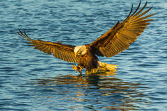 Eagle Fishing. American Bald Eagle Swooping With Talons Extended Into Blue Water To Catch Fish Stock Photography