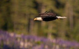 Eagle Fishing chauve dans Maine photo stock
