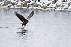 Eagle Fishing over the Mississippi River Stock Images