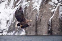 Eagle fiske i havet Arkivbilder