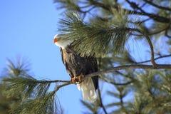 Eagle-flüchtige Blicke von hinten Niederlassung Stockfotos