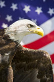 Eagle with Flag. Bald Eagle with American Flag Stock Image