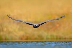 Eagle-Fliege über der Seeoberfläche Seeadler, Haliaeetus albicilla, Gesichtsflug, Raubvogel mit Wald im Hintergrund A Stockfotos