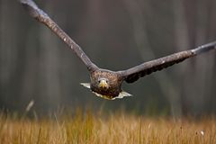 Eagle-Fliege über der Waldwiese Seeadler, Haliaeetus albicilla, Gesichtsflug, Raubvogel mit Wald im Hintergrund Stockbild