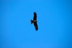 Eagle-Fliegen Stockfoto