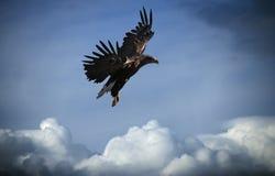 Eagle-Fliegen am blauen Himmel über den Wolken Stockfoto