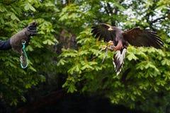 Eagle-Fliegen in Richtung zur Hand des Falkners Lizenzfreies Stockfoto