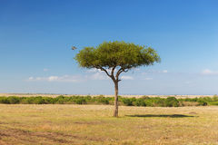 Eagle-Fliegen weg von Baum in der Savanne bei Afrika Stockfoto