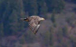 Eagle fliegt an der Baumzeile. Lizenzfreie Stockbilder
