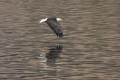 Eagle flies above water. Royalty Free Stock Photo