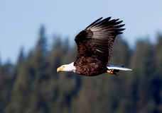 Eagle flies across sky. Royalty Free Stock Image