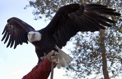Eagle Flies dans le Lake Placid, la Floride photos libres de droits
