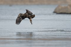 Eagle Flies Off With Breakfast chauve juvénile image stock