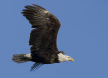 Eagle in flight 2. Bald Eagle in flight over the Mississippi River Royalty Free Stock Photography