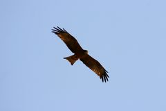 Eagle in flight. African eagle in flight stock image