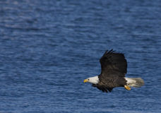 Eagle in flight 3. Bald Eagle in flight over the Mississippi River Royalty Free Stock Photos