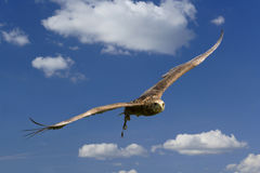 Eagle in flight. Bateleur Eagle in flight against blue sky during a falconry display Royalty Free Stock Photo