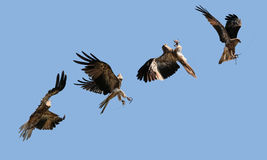 Eagle in flight. Photo montage of an Eagle in flight catching a piece of meat Stock Photo