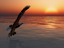 Eagle in Flight. Against a sunset sky stock images