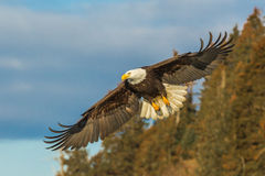Eagle In Flight. Adult American Bald Eagle in Flight With Trees And Blue Sky In Background Royalty Free Stock Photography