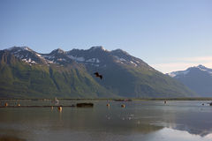 An eagle in flight in alaska. A waning tide in the early morning at valdez Stock Photos