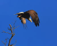 Eagle in flight. American Bald Eagle flying with wings spread from a perch in a tree near a nest  along the banks of the Mississippi River in central Missouri on Royalty Free Stock Image